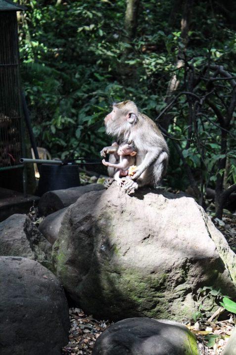 Monkey with baby at monkey forest Ubud, Bali