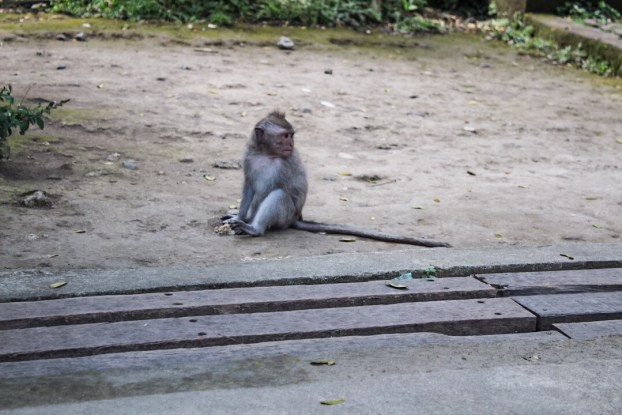 Monkey in monkey forest ubud bali