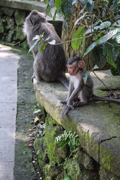 Baby monkey in monkey forest ubud, bali