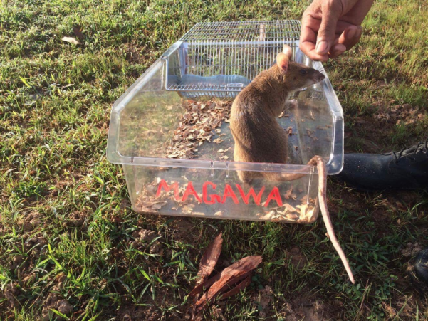 Magawa the hero rat in the field