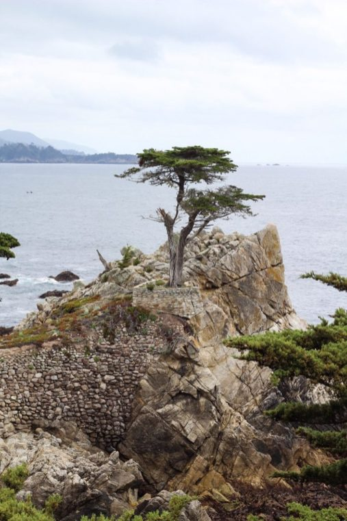 Lone Cyprus tree on the 17 mile drive in Pebble Beach California