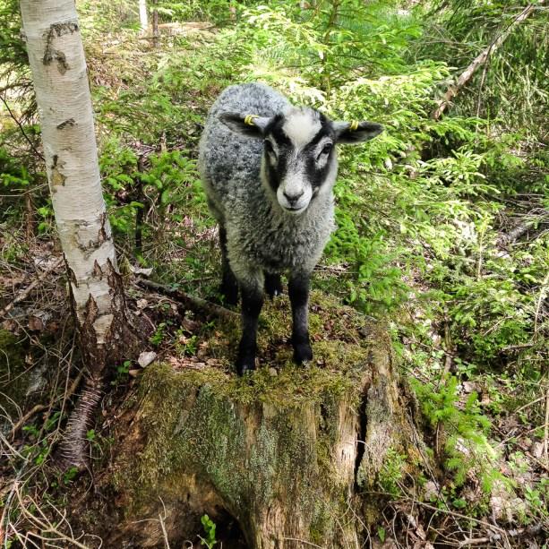 Ett lamm på en stubbe
