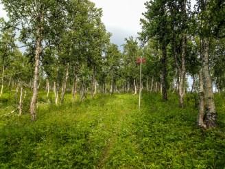 parkartad fjällbjörkskog
