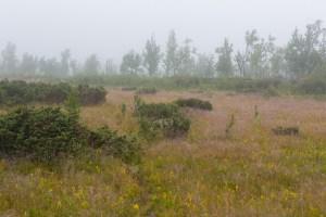 Dimma mellan träden.