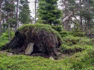 Gammal rotvälta i Lundsnesets naturreservat