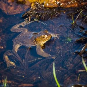 Många grodor i sjöarna