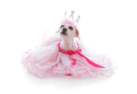 Pampered dog in tutu and princess crown