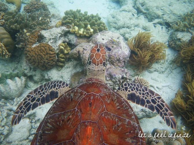 Grande Barrière de Corail - Juste au dessus d'une grande tortue de mer