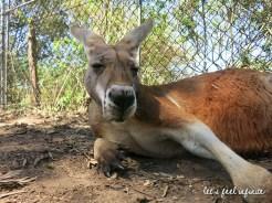 Lone Pine - Kangaroo 3