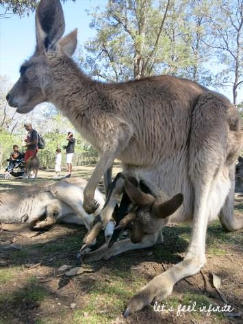 Lone Pine - Kangaroo mom & her baby in pocket