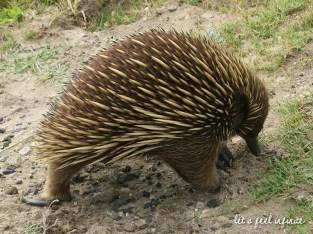 Point Nepean - Strange animal