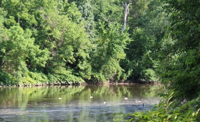 creek with geese, trees on both sides