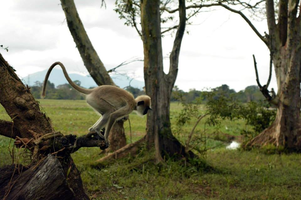 Monkeys at Habarana