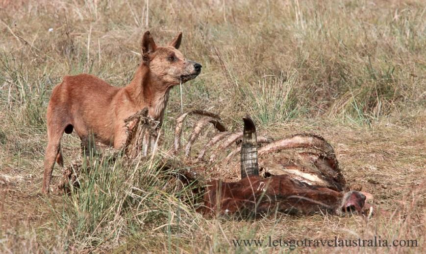 Feast-Dingo