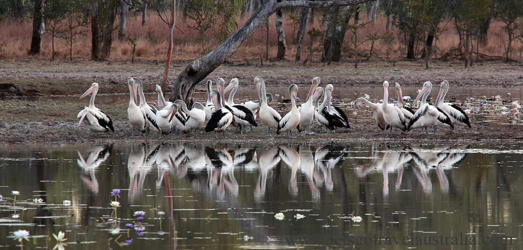 Pelicans_4162
