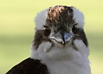 Kookaburra_2