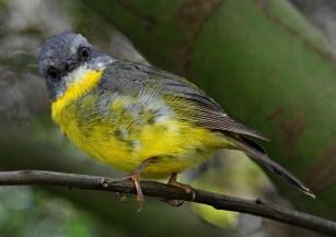 Eastern Yellow Robin #2