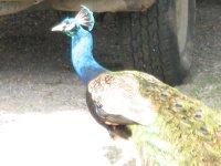 a peacock?