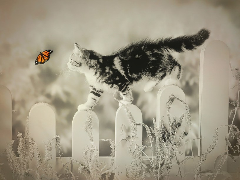 black and white photo of cat walking on fence posts chasing a colorful monarch butterfly