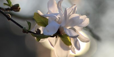 Large white Magnolia tree bloom on a branch with daytime sunlight highlighting it from behind. The background is a blend of muted white, green and soft blue.