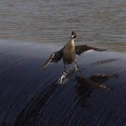 awesome-duck