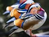 mandarin-duck2
