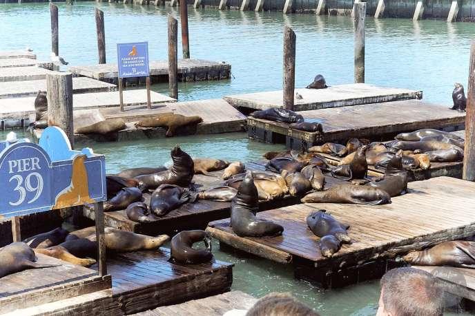 the sealions on pier 39 san francisco