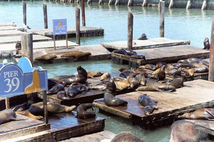 the sealions on pier 39 san francisco