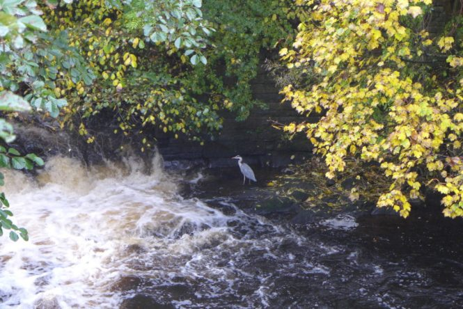 marple bridge heron