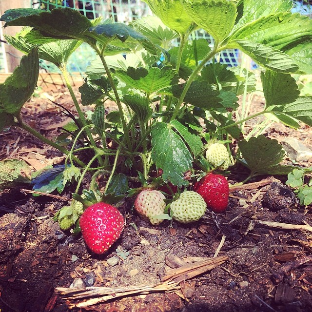 Jam to be #pinole #home #gardenning #levasfarm #freshstrawberry #jam #cooking