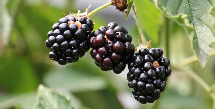 blackberries-bramble-berries-bush-134581.jpeg