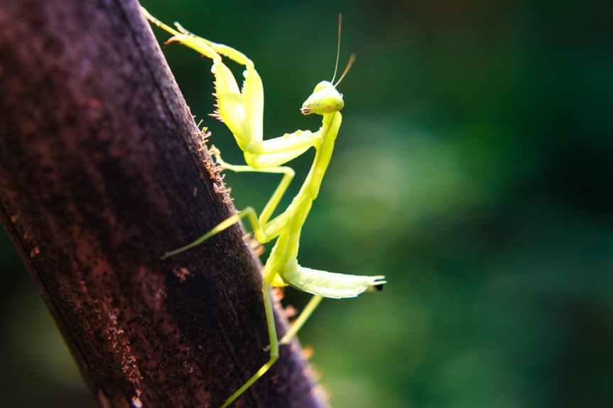 Introducing Her Majesty: The Praying Mantis