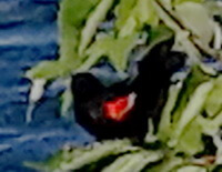 Pasărea cardinal