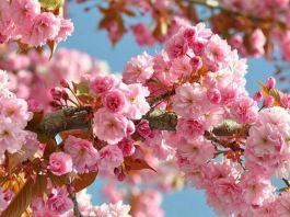 flori de cires letitia vladislav leviathan.ro