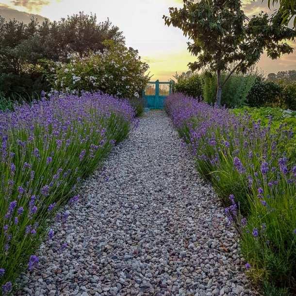 Grusgång omgiven av lavendel i en köksträdgård. Design av Ulrika Levin, trädgårdsarkitekt.