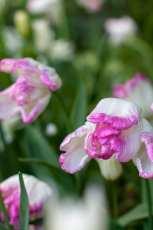 Lökar i rosa och vitt, tulipa Webers Parrot är ett perfekt val.