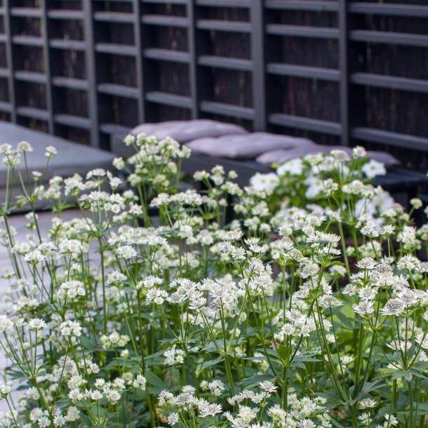 Vit stjärnflocka med svart spaljé i modern stil. Ritad av trädgårdsarkitekt Ulrika Levin.