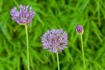 Allium Purple Sensation.