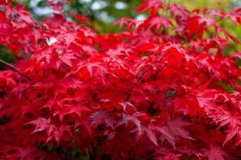 Acer palmatum 'Osakazuki' har en fantastisk höstfärg.