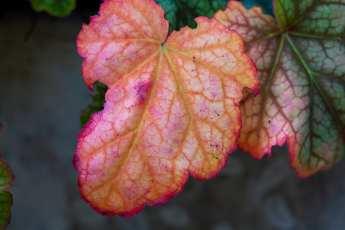 Heuchera 'Beauty Colour' i höstfärg.