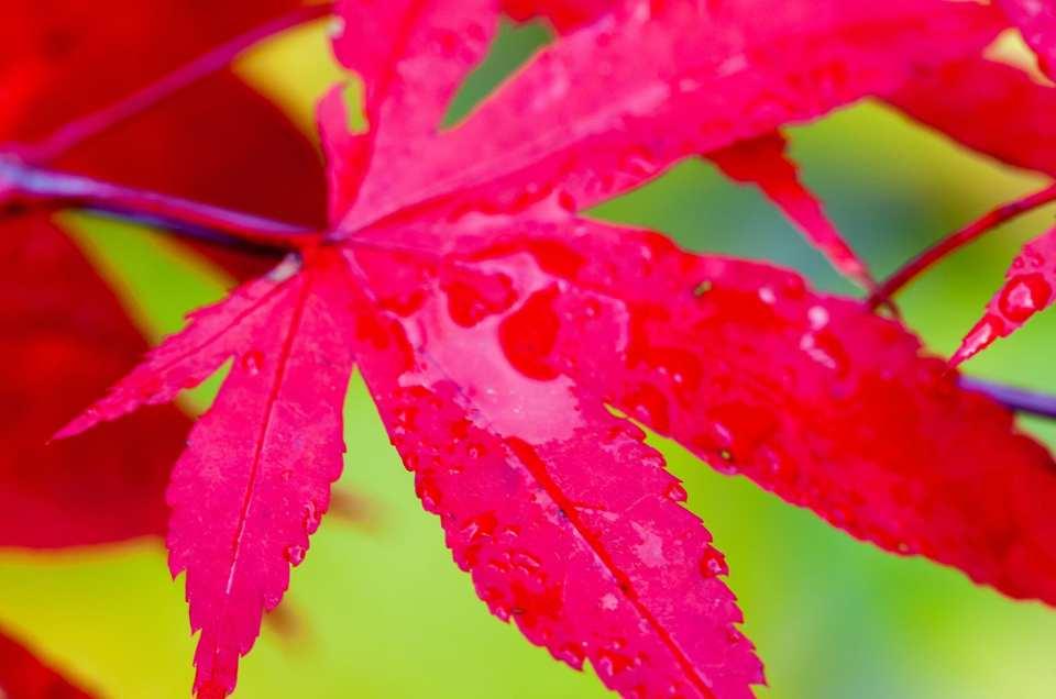 Höstfärg i karminrött hos Acer palmatum 'Osakazuki'.