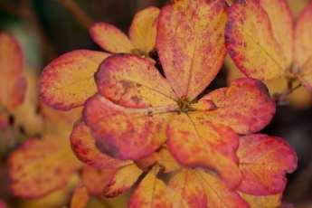 Höstfärg hos Rhododendron schlippenbachii.