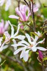 Närbild på vårblomning hos magnolia Leonard Messel.