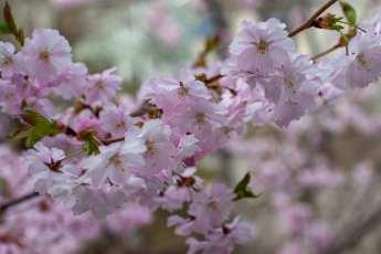 Ljuvlig vårblomning hos Prunus Accolade.