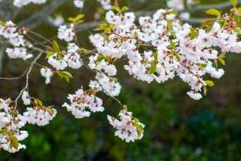 Bedårande vårblomning hos Prunus yeodensis.