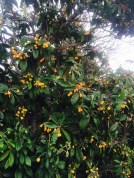 Loquat trees growing by the side of the road