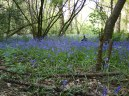 Bluebell Ancient Wood