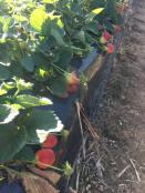 Strawberry 9