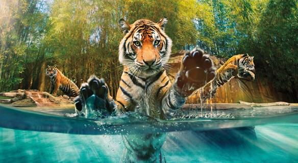brisbane-australia-zoo-tigers-b7-preview