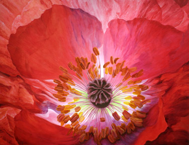 The center of a flaming red and purple poppy